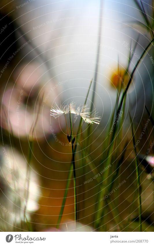 zusammenhalt Natur Pflanze Sommer Blume ruhig Umwelt Wiese Frühling Gras natürlich Hoffnung Schönes Wetter Gelassenheit Löwenzahn Zusammenhalt loyal
