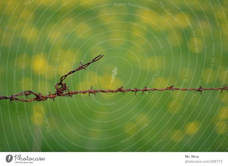 no way Umwelt Natur Pflanze Gras Grünpflanze Nutzpflanze Garten Wiese Feld stachelig gelb grün Stacheldraht Stacheldrahtzaun Begrenzung Rost Weidezaun Freiheit