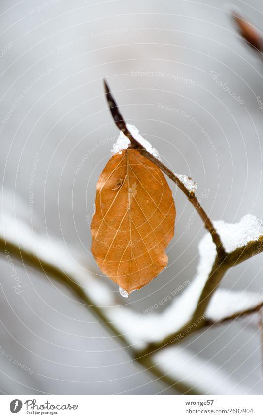 Erster Schnee Pflanze Winter Blatt Wald braun grau schwarz Frost kalt Herbstlaub Winterstimmung Farbfoto Gedeckte Farben Außenaufnahme Nahaufnahme Menschenleer