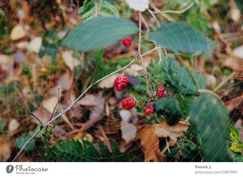 Waldgarten Himbeeren Vegetarische Ernährung Umwelt Natur Pflanze Gras Sträucher Farn Blüte Grünpflanze Wildpflanze Blatt Glück grün Vergänglichkeit fruchtbar