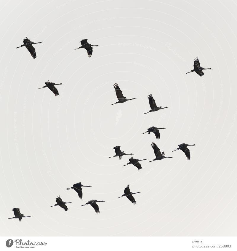 Kraniche Umwelt Natur Tier Himmel Vogel Schwarm grau schwarz fliegend Farbfoto Außenaufnahme Menschenleer Hintergrund neutral Tag Licht Schatten Silhouette