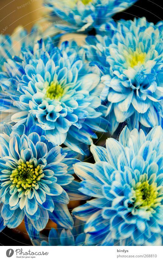 blaue Pracht Natur weiß schön Pflanze Blume Farbe gelb Blüte ästhetisch leuchten Romantik Kitsch Freundlichkeit Blühend Blumenstrauß