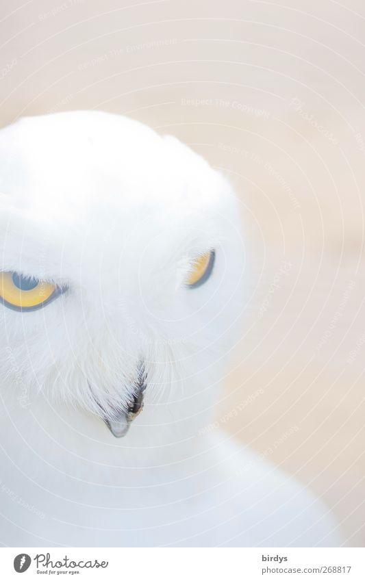 Schn eee ule...333 weiß schön Tier gelb Auge Vogel hell Wildtier außergewöhnlich ästhetisch leuchten Feder beobachten weich Tiergesicht Mut