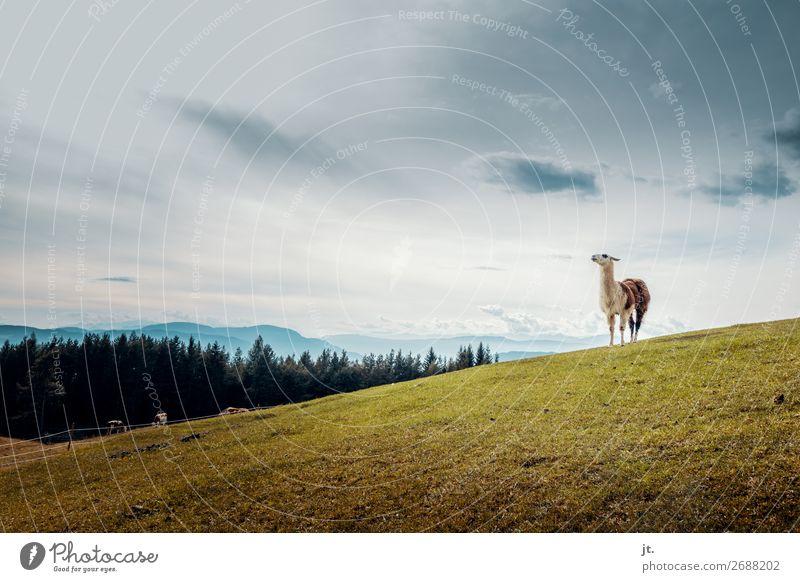 Lama in den Dolomiten Natur Landschaft Himmel Herbst Gras Wiese Wald Alpen Berge u. Gebirge Tier Kuh Tiergruppe stehen wandern Tierliebe Stolz Farbfoto