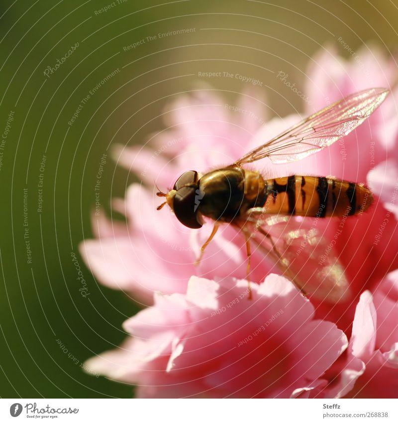 Sommergefühl Natur Pflanze Sonnenlicht Blume Nelkengewächse Tier Fliege Flügel Schwebfliege Insekt Facettenauge Beine Duft schön gold rosa Lichtstimmung Farbe