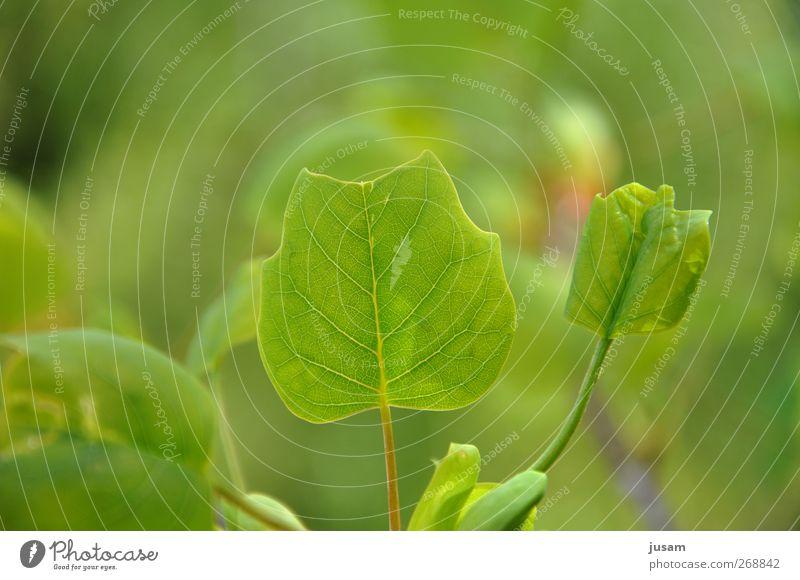 leaf of life Umwelt Natur Pflanze Blatt Grünpflanze hell natürlich saftig grün frisch Blattgrün Blattadern Farbfoto Außenaufnahme Detailaufnahme