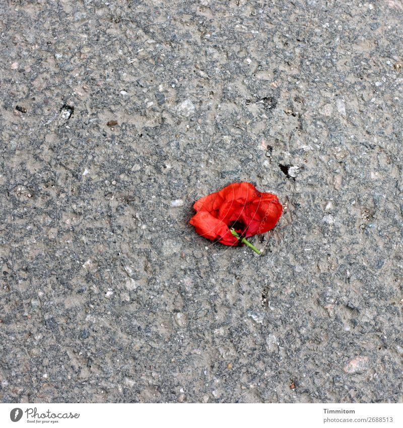 !Trash! 2018 | Das Ende einer kurzen Affäre Pflanze Blume Rose Blüte Straße liegen grau rot Gefühle Traurigkeit Enttäuschung Symbole & Metaphern trashig