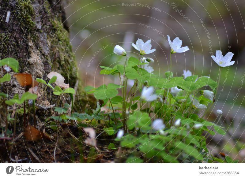Klee ist schee Natur Pflanze Frühling Baum Moos Blüte Glücksklee Blühend Wachstum frisch schön sauer grün weiß Frühlingsgefühle Sinnesorgane Umwelt Farbfoto