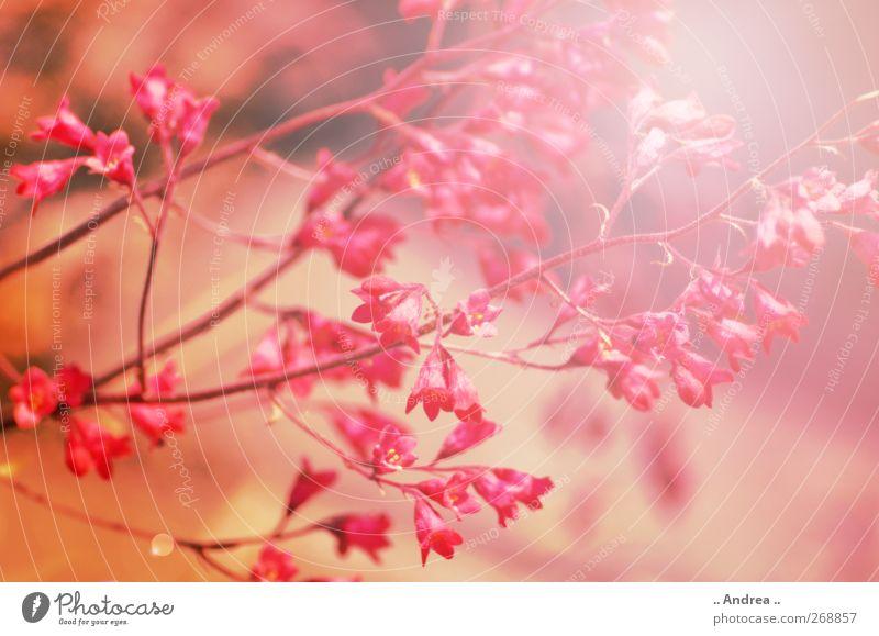 Pink Dream Natur Pflanze Frühling Blume Gras Blühend Duft genießen gelb gold rosa rot Zufriedenheit Frühlingsgefühle Liebeskummer Erholung Wachstum Sommerurlaub