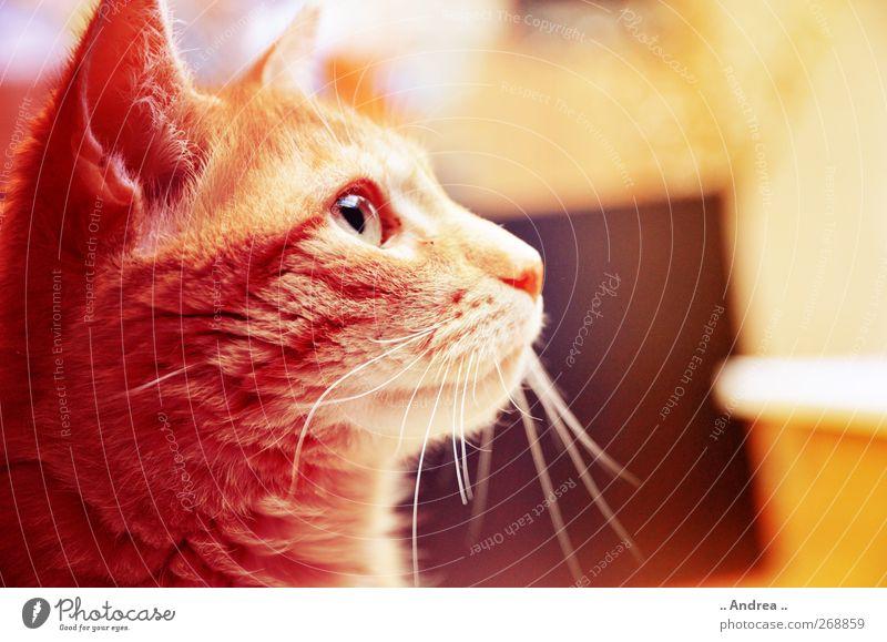 Red Tiger 24 Haustier Katze 1 Tier leuchten retro braun gelb rot Hauskatze Hauskater Mietzi Stubentiger cat Blick Blick nach vorn Auge Schnurrhaar Schnurren Ohr
