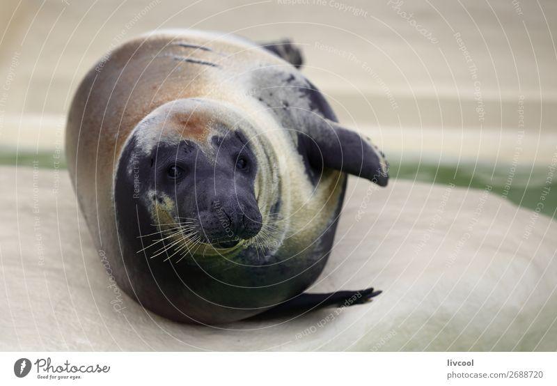 Schönes Siegel Museum Tier Sand Küste Oberlippenbart Aquarium 1 dick Fröhlichkeit frisch lustig blau grau Fisch Frankreich Europa Biarritz Lapurdi Baskenland