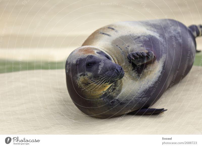Seehundgruß im Aquarium Museum Natur Tier Sand Küste Oberlippenbart 1 dick lustig natürlich blau Fröhlichkeit Gelassenheit Fisch Frankreich Europa Biarritz