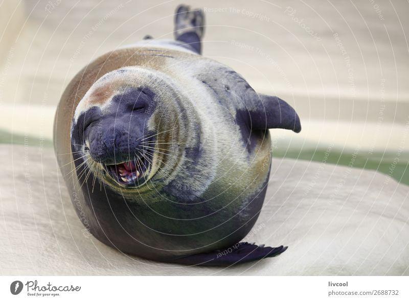 Lächelnde Robbe Museum Tier Sand Küste Oberlippenbart Aquarium 1 Glück lustig natürlich blau grau weiß Fisch Frankreich Europa Biarritz Lapurdi Baskenland