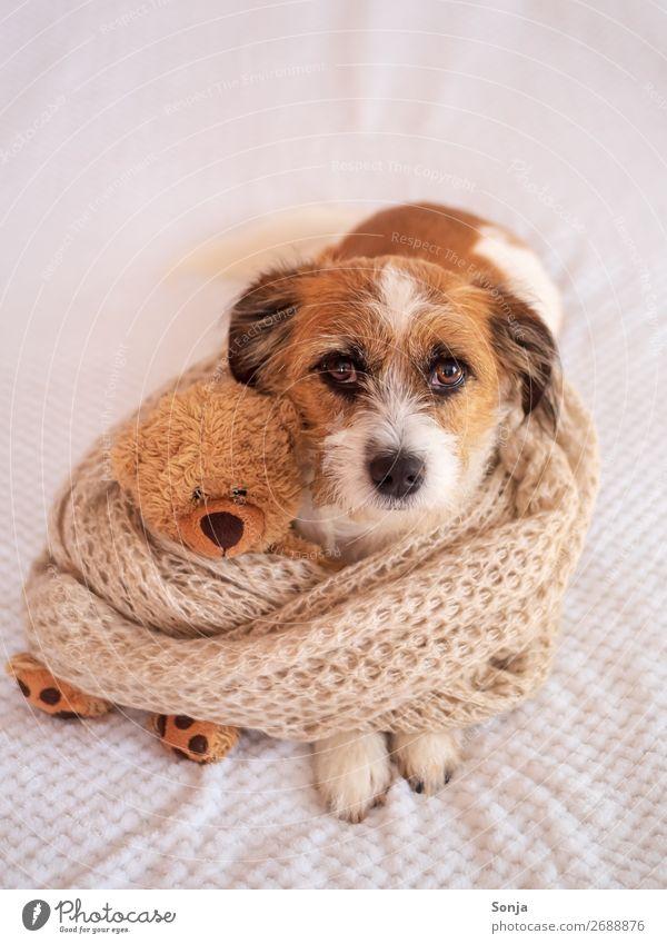 Kleiner Hund mit einem Teddybär auf einer weißen Decke Tier Haustier 1 Spielzeug Schal Liebe liegen schön Kitsch Glück Vertrauen Warmherzigkeit Tierliebe