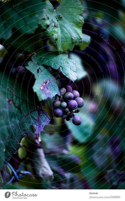 Pralle Trauben Natur grün Pflanze Blatt Umwelt Ernährung Lebensmittel Wachstum Sträucher Wein violett Bioprodukte hängen Picknick Vegetarische Ernährung