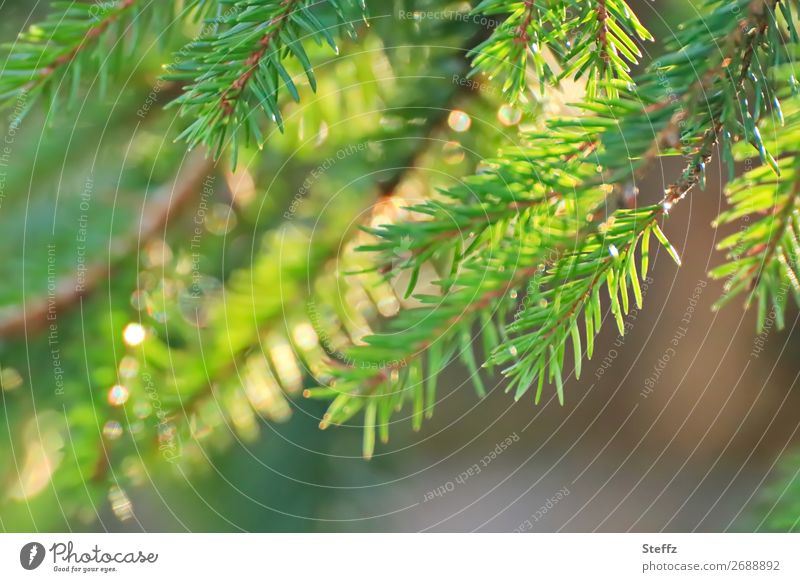 Tannenzweig ohne Lametta Weihnachten & Advent Natur Pflanze Schönes Wetter Grünpflanze Wildpflanze Zweig Tannennadel Wald glänzend natürlich schön gelb grün