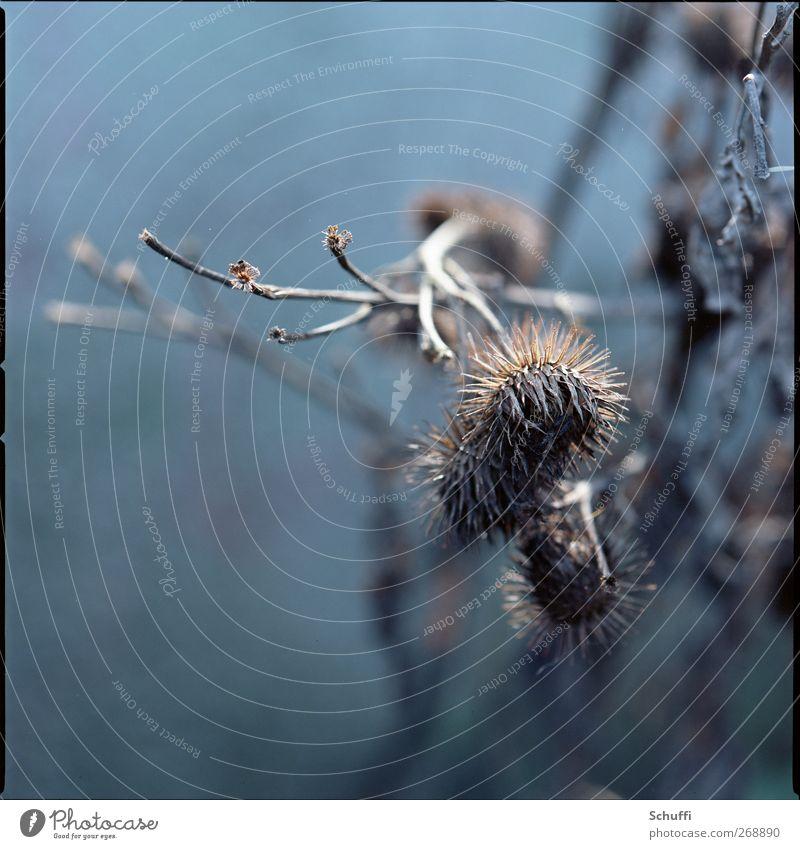Vorsicht, stachelig! Natur Pflanze Tier Aggression Stachel Distel Distelblüte Farbfoto Außenaufnahme Nahaufnahme Detailaufnahme Makroaufnahme Menschenleer Tag