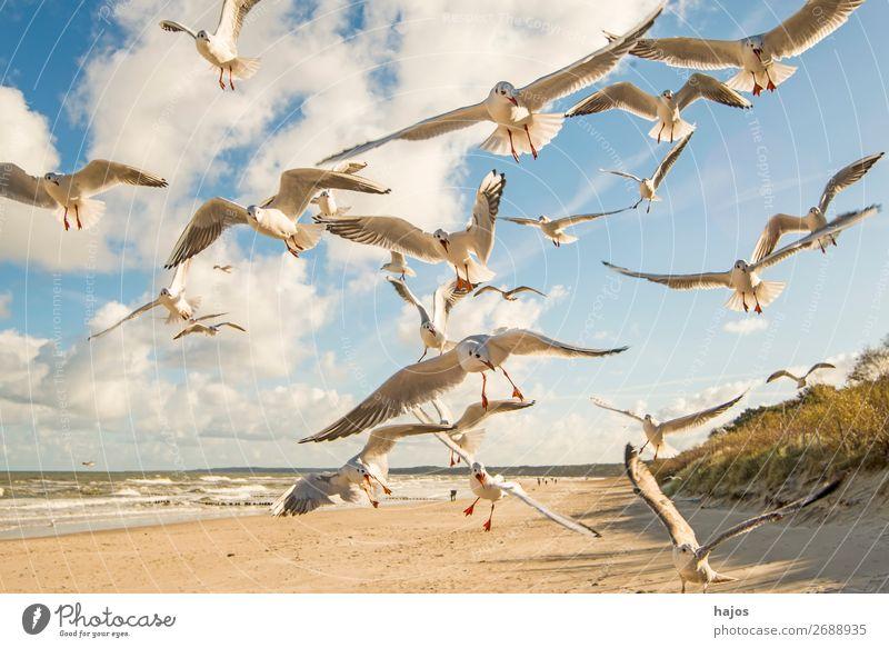 Lachmöwen fliegen über einem Ostseestrand Strand Tier Wildtier Vogel Tiergruppe wild blau weiß wildlife tief Schwarm Gruppe Vögel Möwen Himmel Wolken Sandstrand