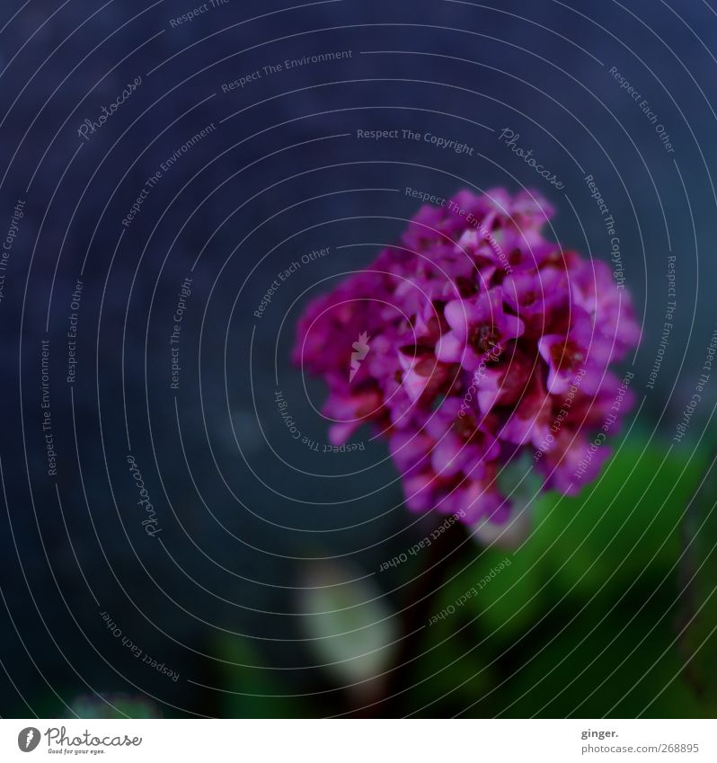 Farbendomina Natur grün Pflanze Blume Umwelt dunkel Frühling klein Blüte Zusammensein Wachstum viele violett Blühend Verschiedenheit