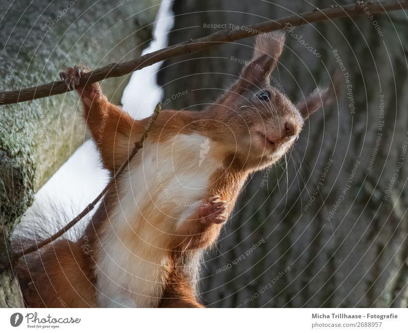 Stehendes Eichhörnchen im Baum Natur Tier Sonnenlicht Schönes Wetter Wildtier Tiergesicht Fell Krallen Pfote Nagetiere Ohr Auge 1 beobachten festhalten Blick