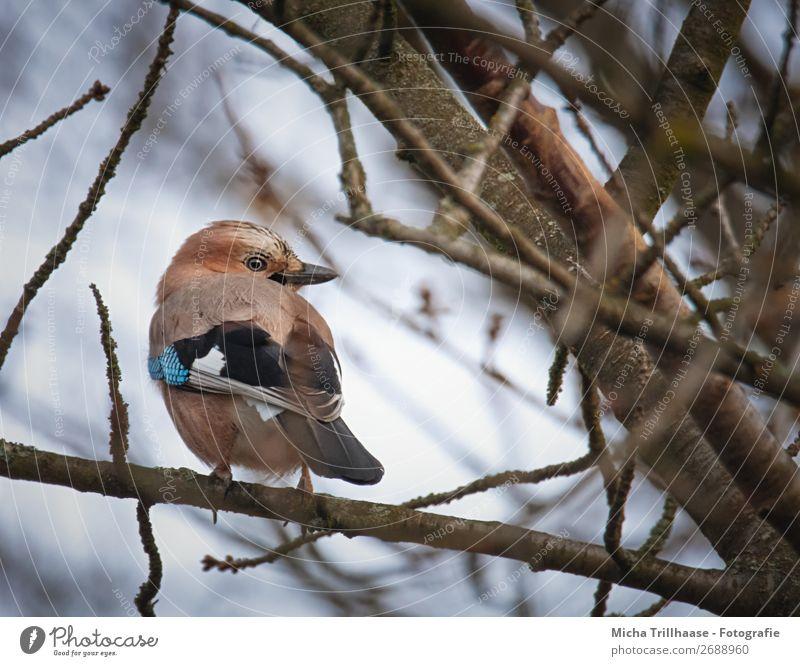 Eichelhäher schaut sich um Natur Tier Himmel Sonnenlicht Schönes Wetter Baum Ast Wildtier Vogel Tiergesicht Flügel Krallen Schnabel Auge Feder 1 beobachten