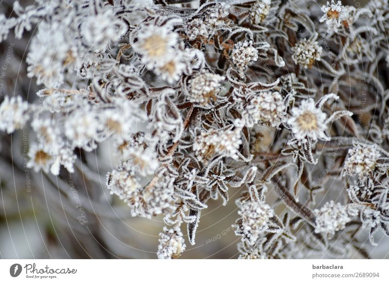 Herbstaster im Winterkleid Pflanze Klima Eis Frost Sträucher Blatt Blüte Garten ästhetisch kalt silber weiß Stimmung Romantik elegant Natur Stil Umwelt Farbfoto