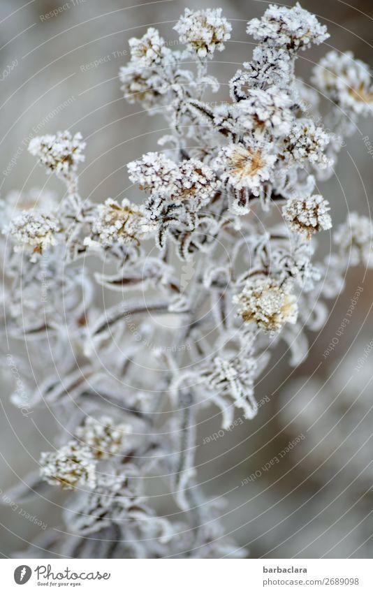 Ein Hauch von Frost und Winter Pflanze Klima Eis Sträucher Blüte Garten hell kalt silber weiß Stimmung Romantik ästhetisch Natur rein Umwelt