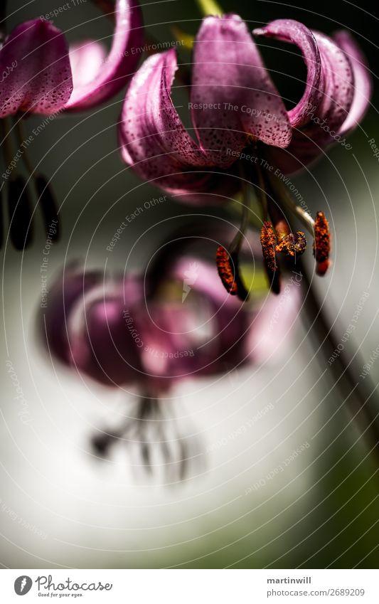 Türkenbund-Lilie - Lilium martagon wandern Natur Pflanze Blume Blüte Lilienblüte Dolomiten Südtirol hängen Traurigkeit Trauer schön Türkenbundlilie Farbfoto