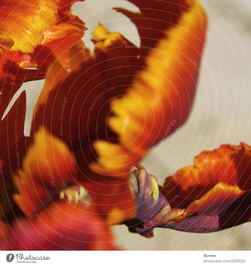 Tulpe - unordentlich Natur Pflanze Frühling Blume Blüte Papageientulpen Garten Blühend leuchten gelb gold rot üppig (Wuchs) feurig feurrot leuchtende Farben