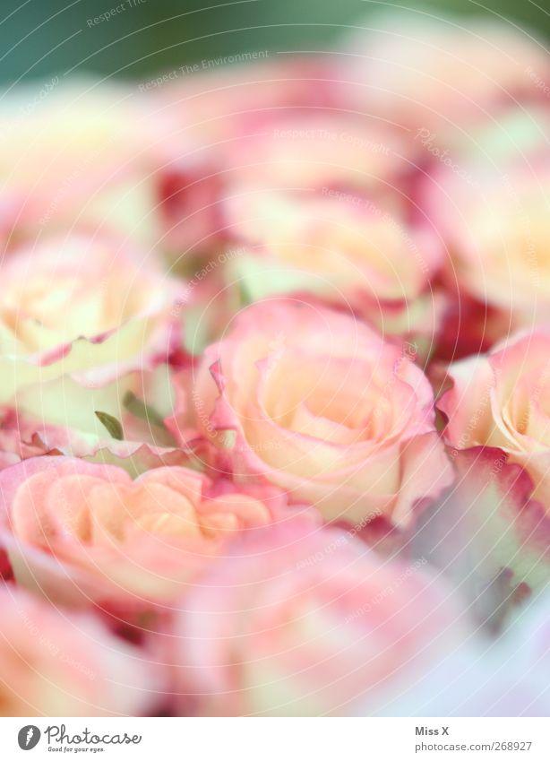 zart Frühling Sommer Blume Blüte Blühend Duft rosa Rosenblüte Blumenstrauß Farbfoto mehrfarbig Nahaufnahme Menschenleer Schwache Tiefenschärfe