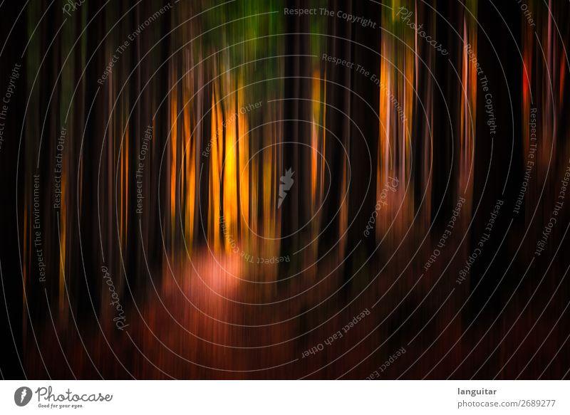 Forest dreams Natur Landschaft Herbst Baum Tanne Fichte Baumstamm Wald außergewöhnlich wild gold orange rot Glück träumen Teutoburger Wald Farbe Farbfoto Fußweg