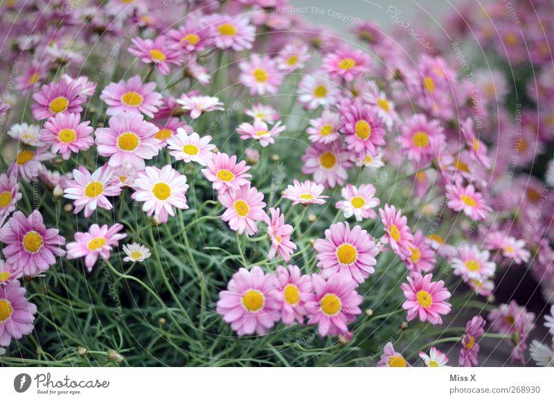blumig Natur Pflanze Frühling Sommer Blume Blatt Blüte Garten Blühend Duft violett Blumenstrauß Gartenpflanzen Farbfoto mehrfarbig Außenaufnahme Menschenleer