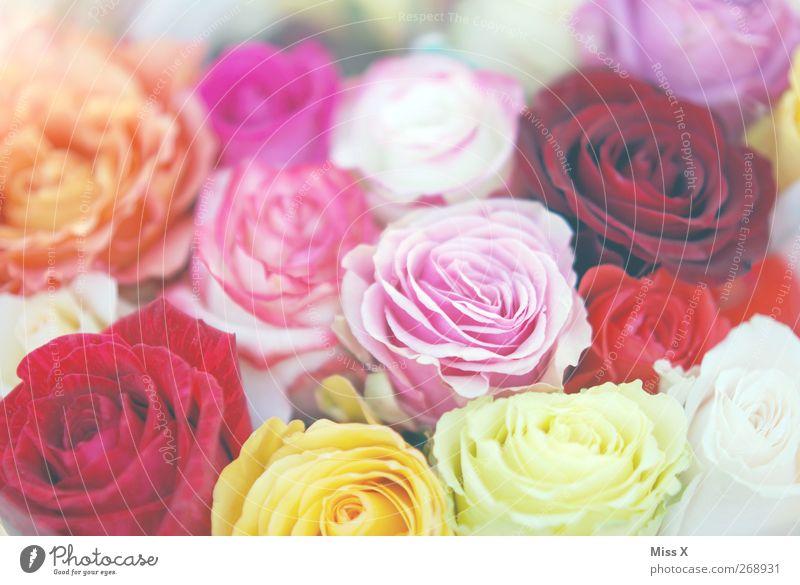 rosig Frühling Sommer Blume Rose Blüte Blühend Duft mehrfarbig rosa Blumenstrauß Muttertag Rosenblüte viele Farbfoto Nahaufnahme Muster Strukturen & Formen