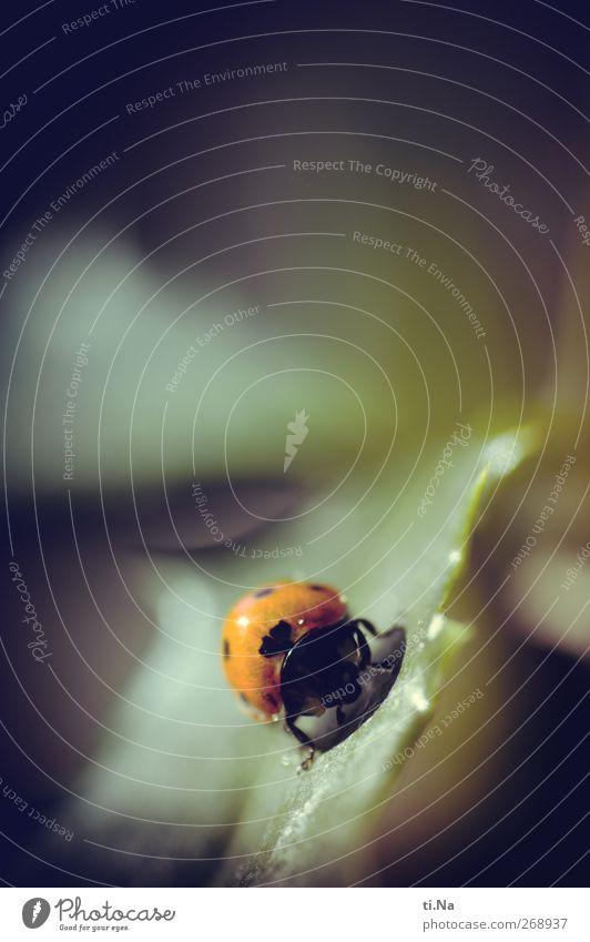 Glück Wildtier Käfer 1 Tier krabbeln klein gelb grün rot schwarz Farbfoto Gedeckte Farben Makroaufnahme Menschenleer Textfreiraum oben Schwache Tiefenschärfe