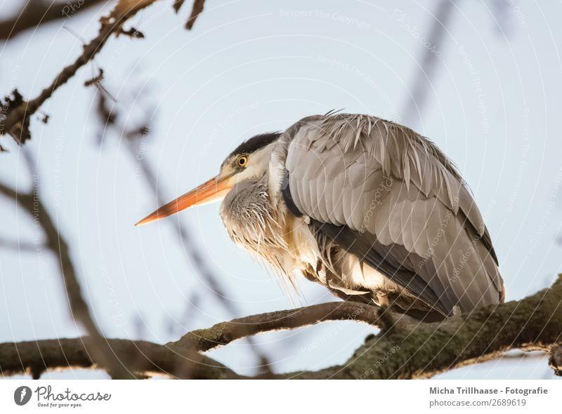 Graureiher im Baum Natur Tier Himmel Wolkenloser Himmel Sonnenlicht Schönes Wetter Wildtier Vogel Tiergesicht Flügel Krallen Reiher Schnabel Feder Auge 1