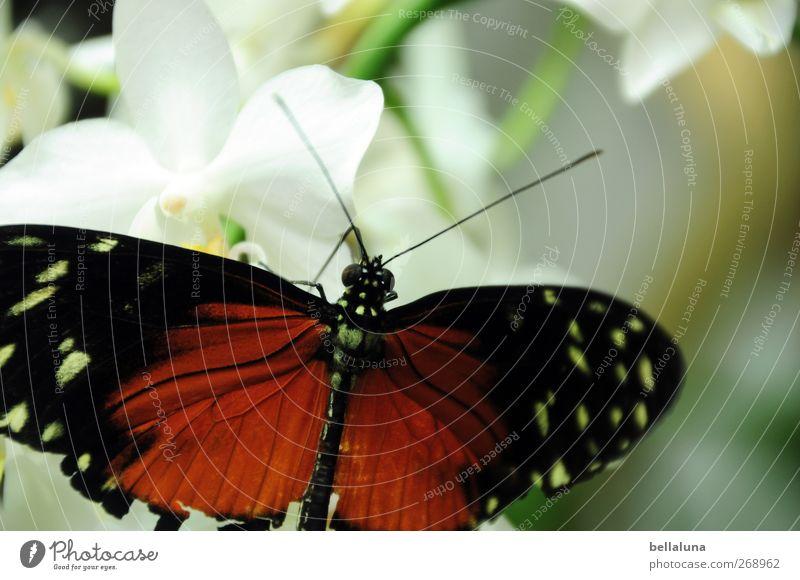 Wende dein Gesicht der Sonne zu... Natur Pflanze Blume Orchidee Blüte Wildpflanze exotisch Tier Wildtier Schmetterling Tiergesicht Flügel 1 ästhetisch elegant