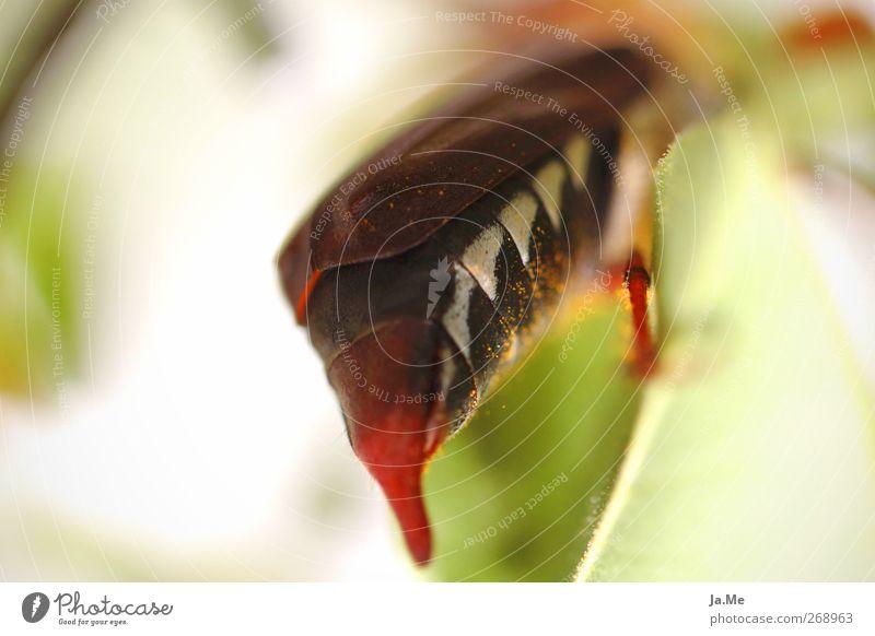 Heckansicht Tier Wildtier Käfer Maikäfer Käferbein 1 braun grün weiß Farbfoto Außenaufnahme Detailaufnahme Makroaufnahme Tag Schwache Tiefenschärfe