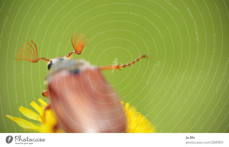 ...und tschüss grün Tier gelb braun Wildtier Löwenzahn Käfer Maikäfer Käferbein