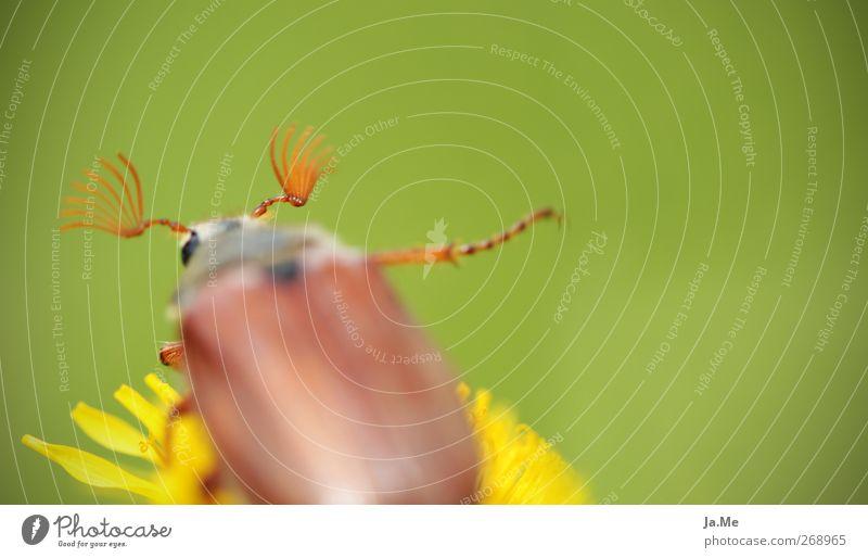 ...und tschüss Löwenzahn Tier Wildtier Käfer Maikäfer Käferbein 1 braun gelb grün Farbfoto Außenaufnahme Detailaufnahme Makroaufnahme Tag Schwache Tiefenschärfe