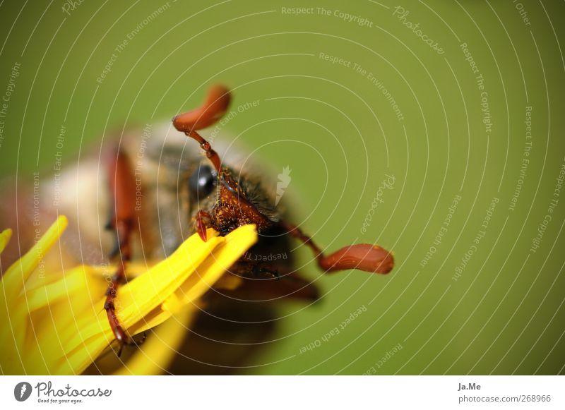 lass es dir schmecken... Löwenzahn Tier Wildtier Käfer Maikäfer 1 braun gelb grün Farbfoto Außenaufnahme Detailaufnahme Makroaufnahme Tag Tierporträt