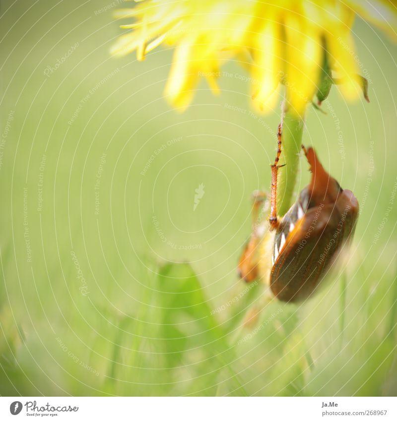 Auf dem Weg nach unten Löwenzahn Tier Wildtier Käfer Maikäfer Käferbein 1 braun gelb grün Farbfoto Außenaufnahme Detailaufnahme Makroaufnahme Tag