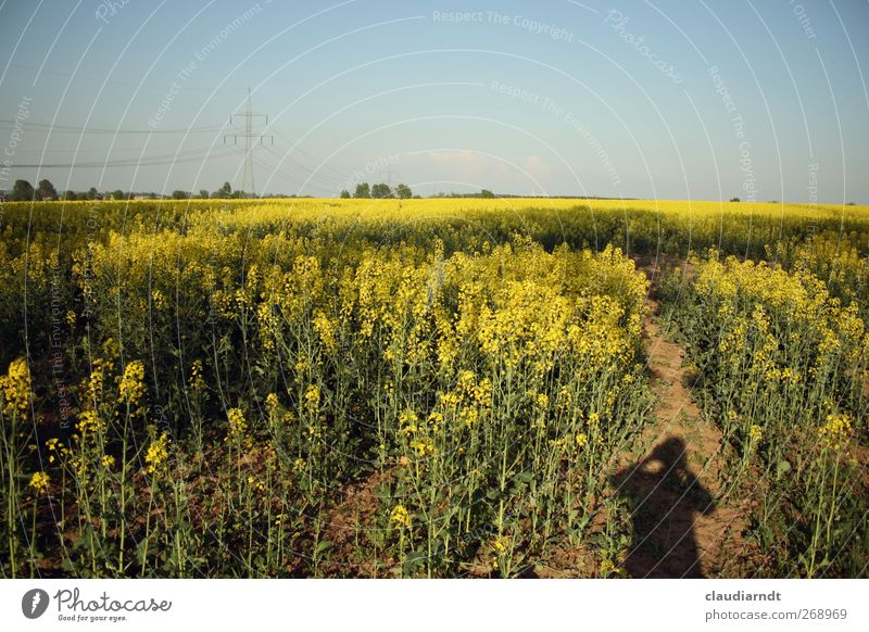 Schatt(en)ich Mensch Himmel Natur blau Pflanze Umwelt gelb Landschaft feminin Frühling Feld Schönes Wetter Landwirtschaft Blühend Strommast Wolkenloser Himmel
