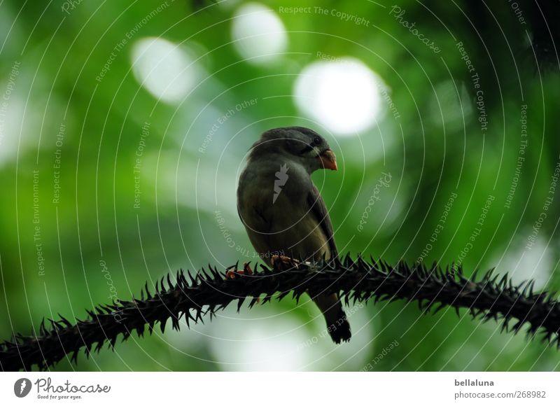 Schulterblick Natur grün Pflanze Blatt Tier Vogel braun Wildtier sitzen Sträucher exotisch Stachel Grünpflanze Wildpflanze Kanarienvogel Zurückblicken