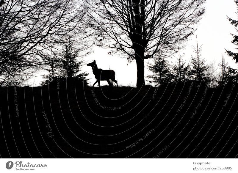 männliches Rotwild auf dem Hügel schön Jagd Berge u. Gebirge Mann Erwachsene Umwelt Natur Landschaft Tier Himmel Frühling Baum Wiese Feld Wald Wildtier 1 laufen