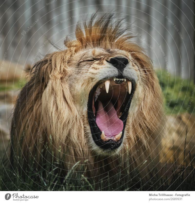 Brüllender Löwe Natur Tier Sonnenlicht Wildtier Tiergesicht Fell Zoo Löwenmähne Maul Gebiss Zunge 1 schreien nah gelb grün orange schwarz Kraft Tierliebe