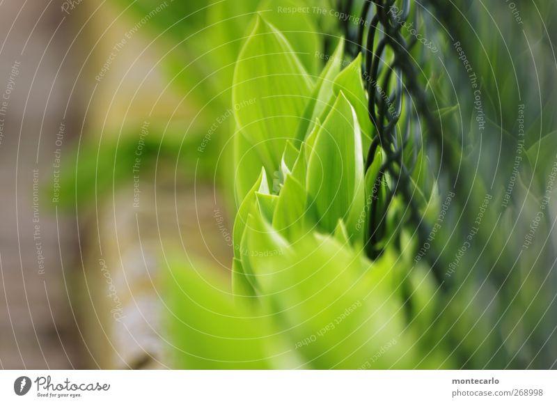Es grünt so grün... Natur Pflanze Blatt Umwelt gelb Wärme Frühling Gras grau Garten wild frisch authentisch weich Schönes Wetter