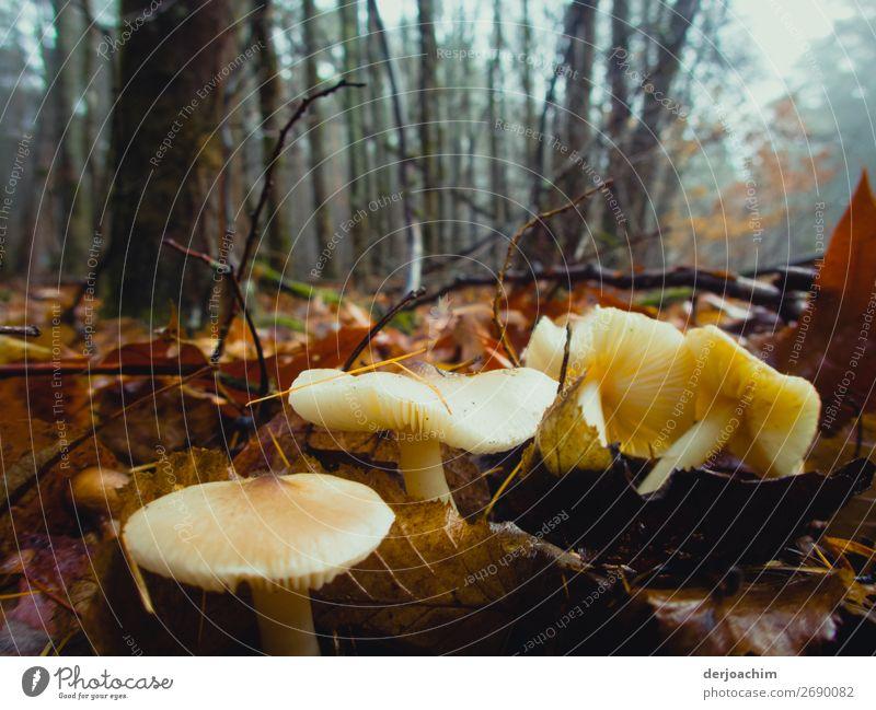 Verkehrte Welt /Helle  Pilze gefunden im Wald  auf braunen Blättern,  Ende Dezember.. Freude Glück harmonisch Winter Häusliches Leben Natur Schönes Wetter