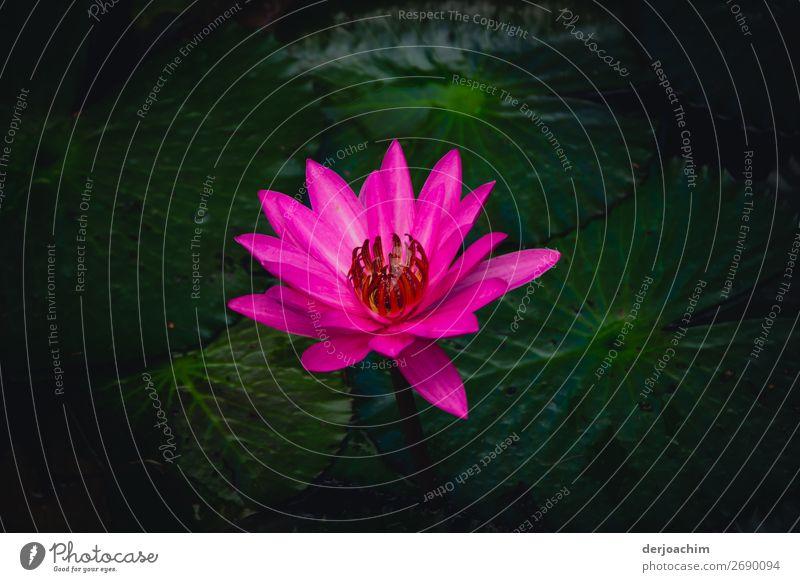 in voller Blüte steht ein Prachtexemplar von Blume . In einer wunderschönen Farbe auf einem Weiher. exotisch Ausflug Sommer Umwelt Natur Sonne Pflanze