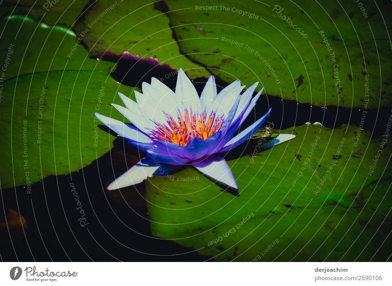 Ein Traum ( mit Frosch) //  Eine leuchtente blaue Blüte mit kleinem Frosch, der sich da hinter versteckt. Man sieht nur den Kopf. Und alles auf einem grüne Farn..Blatt.