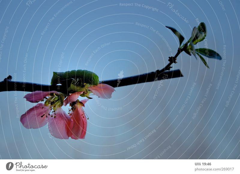 Verfressene Raupe beim Abendbrot. Himmel Natur blau grün Pflanze Tier Blatt Umwelt Leben Frühling Blüte Luft natürlich authentisch weich